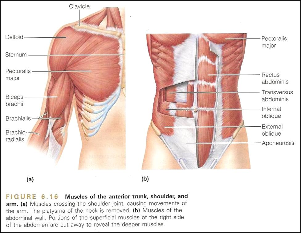 Anatomy And Physiology Marieb Muscle Diagram - Example Electrical ...